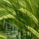 Jagody goji - działanie i właściwości